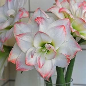 Zimmerpflanze Mit Roten Blättern : 39 amadeus 39 ist eine faszinierend sch ne amaryllis ritterstern schneewei mit einer roten ~ Eleganceandgraceweddings.com Haus und Dekorationen