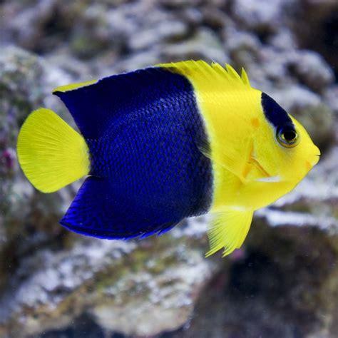 bicolor angelfish ultimate aquatics