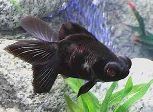BLACK MOOR | fishpetlovers