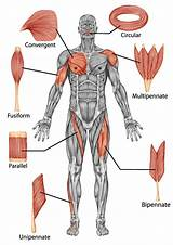 The illustration is available for download in high resolution quality up to 9166x7080 and in eps file format. Skeletal Muscle | Learn the different shapes of muscles.