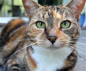 tiger cat tiger cat related keywords suggestions tiger cat