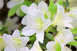 Zimmerpflanze Weiße Blüten : azalee pflege anleitung der zimmerazalee ~ Markanthonyermac.com Haus und Dekorationen