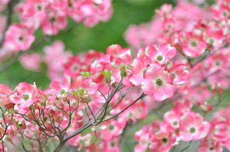 Sep 10, 2021 · in spring, they're covered with fragrant white, pink, or red flowers, and produce tiny yellow, orange, or red fruit in fall. The Best Flowering Trees in the Spring in North Carolina ...