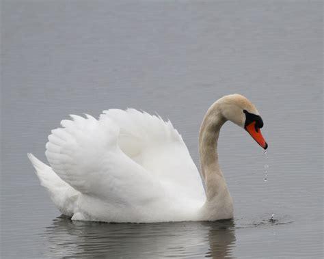 mute swan denmark national bird wallpapers