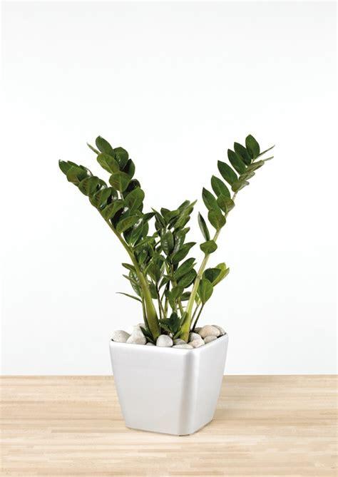Pflanzen Für Wohnung by Pflegeleichte Zimmerpflanzen Die Zamie Bringt Gl 252 Ck Ins Haus