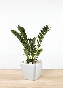 Pflegeleichte Zimmerpflanzen Mit Blüten : pflegeleichte zimmerpflanzen die zamie bringt gl ck ins haus ~ Sanjose-hotels-ca.com Haus und Dekorationen