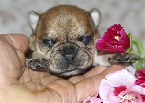 Pictures of Micro French Bulldog - #catfactsblog