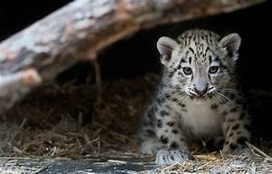 wkyc.com | Cleveland Zoo welcomes baby snow leopard