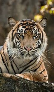 HD wallpaper: tiger, white, color, beautiful, animal, face ...