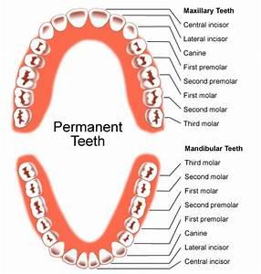 adult tooth development
