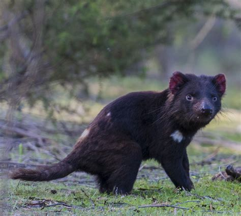 In fact, tasmania is the only place where they are found in the wild. Tasmanian Devil Populations Continue to Decline - Devil Facial Tumour Disease Poses Ongoing Risk ...