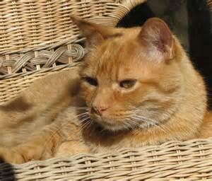 orange tabby cat caf feline addiction today s mug