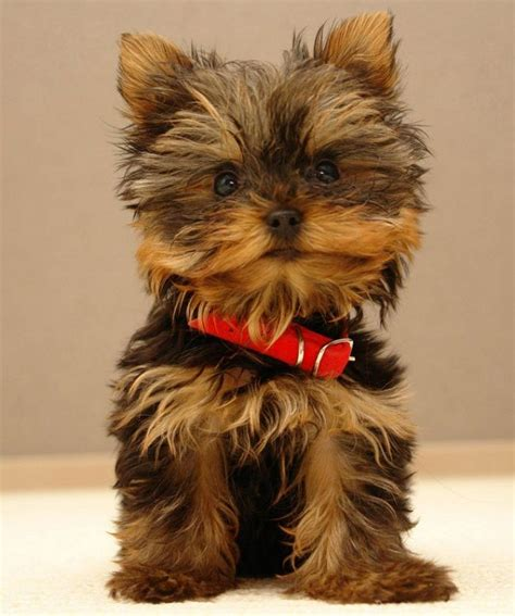 cutest small dog breeds  dont shed puppies