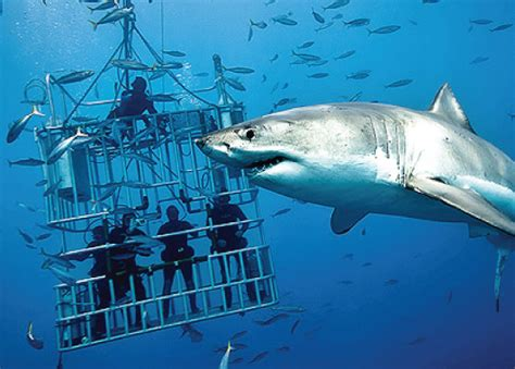 Top 4 Places In The World To Swim With Sharks