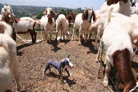 goat herding maverick style  maverick  dog training