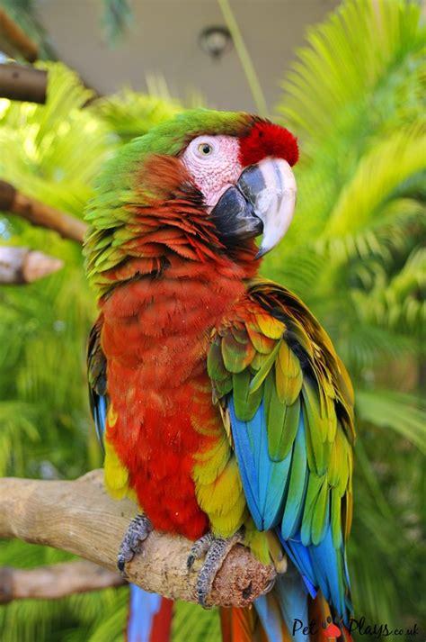 pet parrot pet parrots