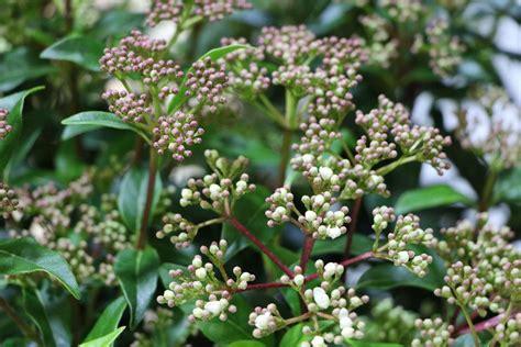 schneeball pflanze schneiden lorbeerschneeball mittelmeer schneeball viburnum tinus pflege schneiden pflanzenexperte de