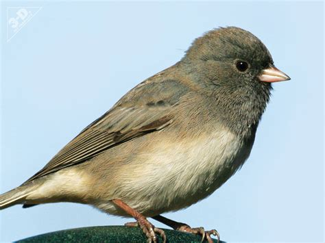 dark eyed junco 3d 174 pet products3d 174 pet products