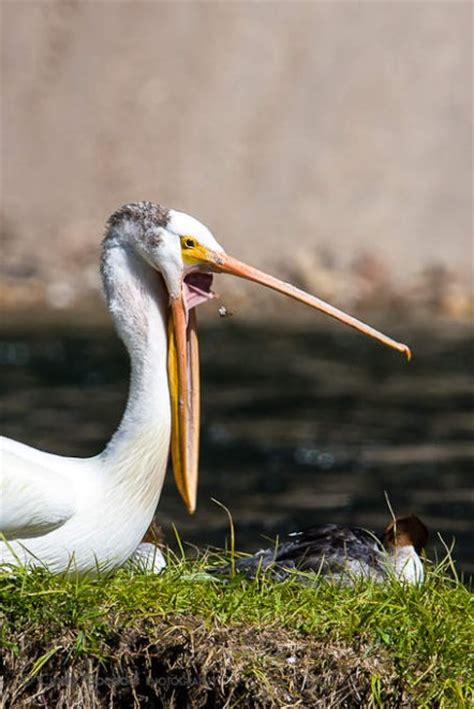 pelican yawn cindy goeddel photography llc