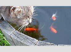 Fische essen Katze Katze wird von Fischen attakiert