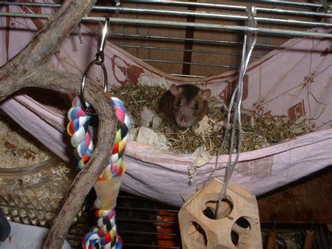 fressen marder ratten was fressen ratten das d rfen ratten nicht fressen ein herz f r tiere magazin was fressen