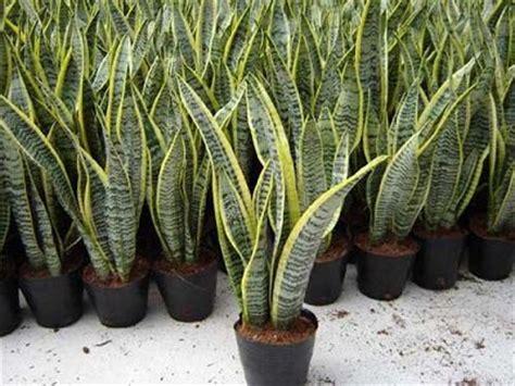 tanaman hias tahan panas matahari mudah ditanam