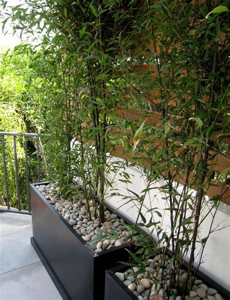 bamboo plants in planters with pebbles garden outdoor