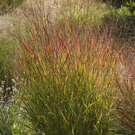 grasses switchgrass ornamental privacy shenandoah panicum virgatum turner mark getty garden