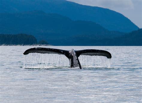 File:Whale tail near Juneau, Alaska.jpg - Wikimedia Commons