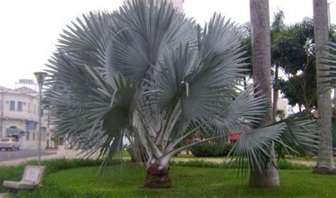 palmeira-azul-bismark   Tipos de palmeiras, Palmeiras, Jardim