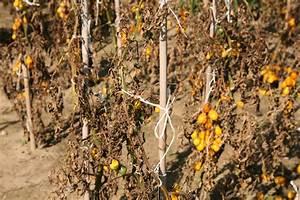 Tomaten Gelbe Blätter : pilzerkrankungen bei tomaten erkennen und beseitigen ~ Lizthompson.info Haus und Dekorationen