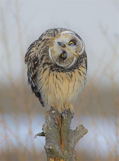 eulen bilder lustig eared owl by 169 ahn b k magically волшебство