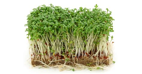 cuisiner les pousses de soja comment faire ses germinations et ses pousses