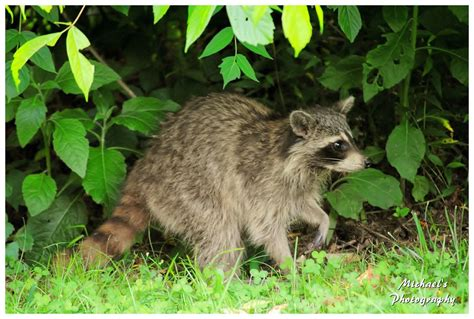 Raccoon Backyard by A Raccoon In My Backyard By Theman268 On Deviantart
