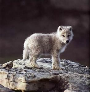 Fuzzy Little Baby Wolf
