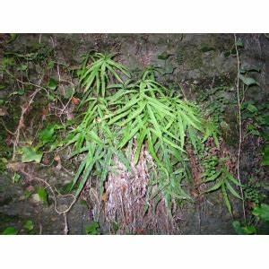 Fougère Pteris Cretica : eflore tela botanica ~ Melissatoandfro.com Idées de Décoration