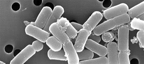 lactobacillus brevis ntt microbiome research