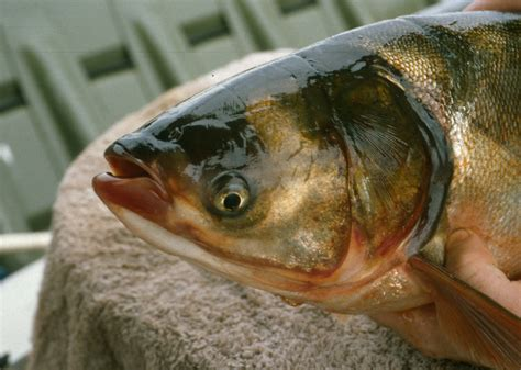asian fish asian carp control efforts wisconsin dnr