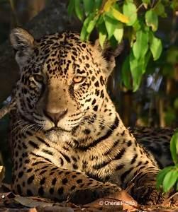 BACKYARD BIRDING IN MERIDA, YUCATAN AND BEYOND – MY JAGUAR ...  Jaguar