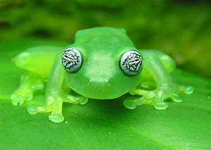 Watch Out, This Ghost Glass Frog's Got the Crazy Eyes ...