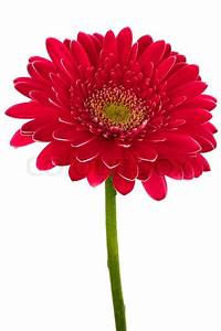 Beautiful brightly red flower on a white background