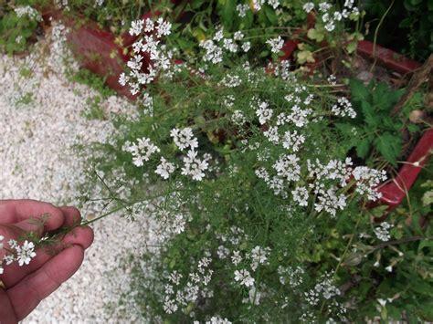 planter de la coriandre  images coriandre semis