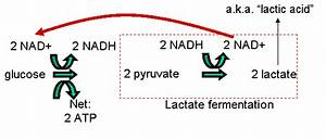 Harvesting Energy  Glycolysis And Cellular Respiration