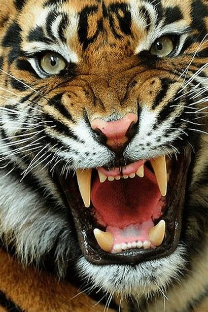 Tiger Cats Animated Roaring Gifs Iphone Angry