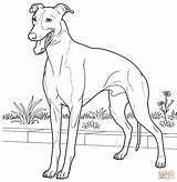 Greyhound Coloring Dog Italian Coloriage Printable Imprimer Chien Labrador Petit Levrier Kleurplaten Dessin Colorier Pasta Coloriages Kleurplaat Template Italiaanse Vlag sketch template