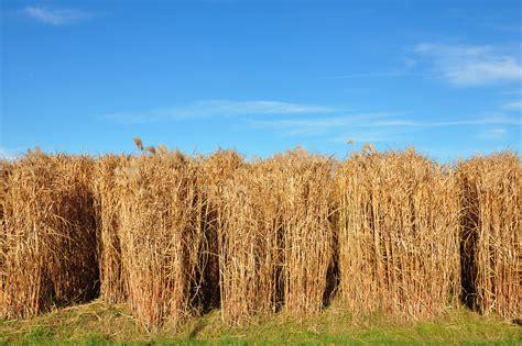 Heizen Mit Miscanthus by Biomasse Chinaschilf Co2 Neutrale Heizw 228 Rme Aus Gras