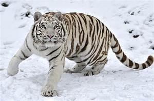 Wallpapers HD de tigres blancos - Imagui