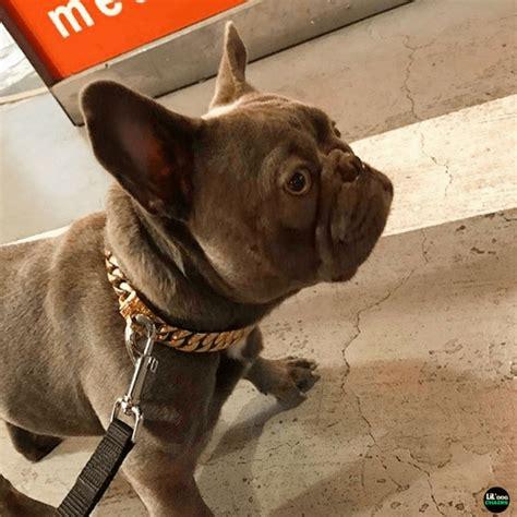 miami cuban link gold dog collar big dog chains big