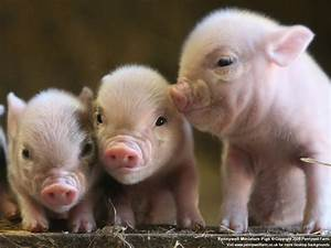 Catatonic Digressions  Pigs  Piggies  Oh So Cute Piggies