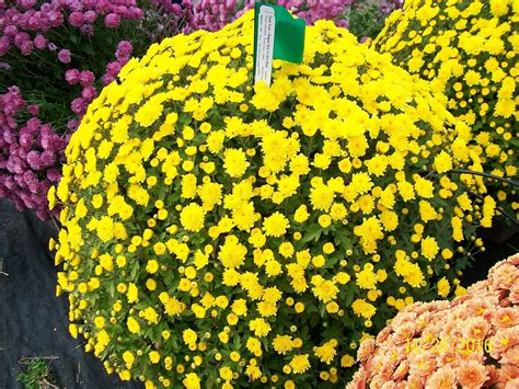 when to plant mums 10 exciting parts of attending garden